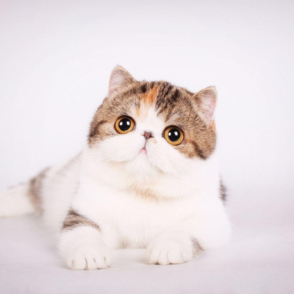我的小可爱满月了[亲亲][亲亲][心][心]#猫圈##cfa异短##狂爱异短