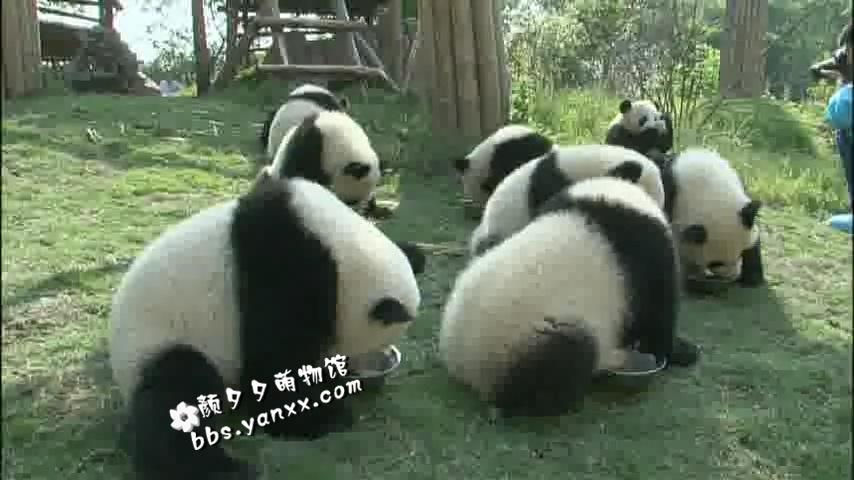 大熊猫纪录片–大熊猫51的故事(正片+花絮)日语中文字幕 高清下载图片 No.4