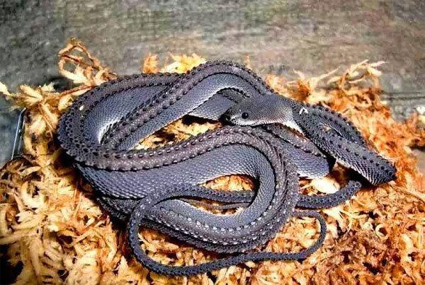 爪哇闪皮蛇