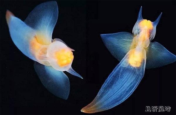 俄潜水员冰下拍到裸海蝶 外形像天使一样美丽