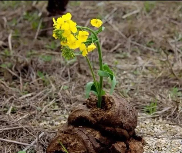 一朵鲜花插在牛粪上表情包
