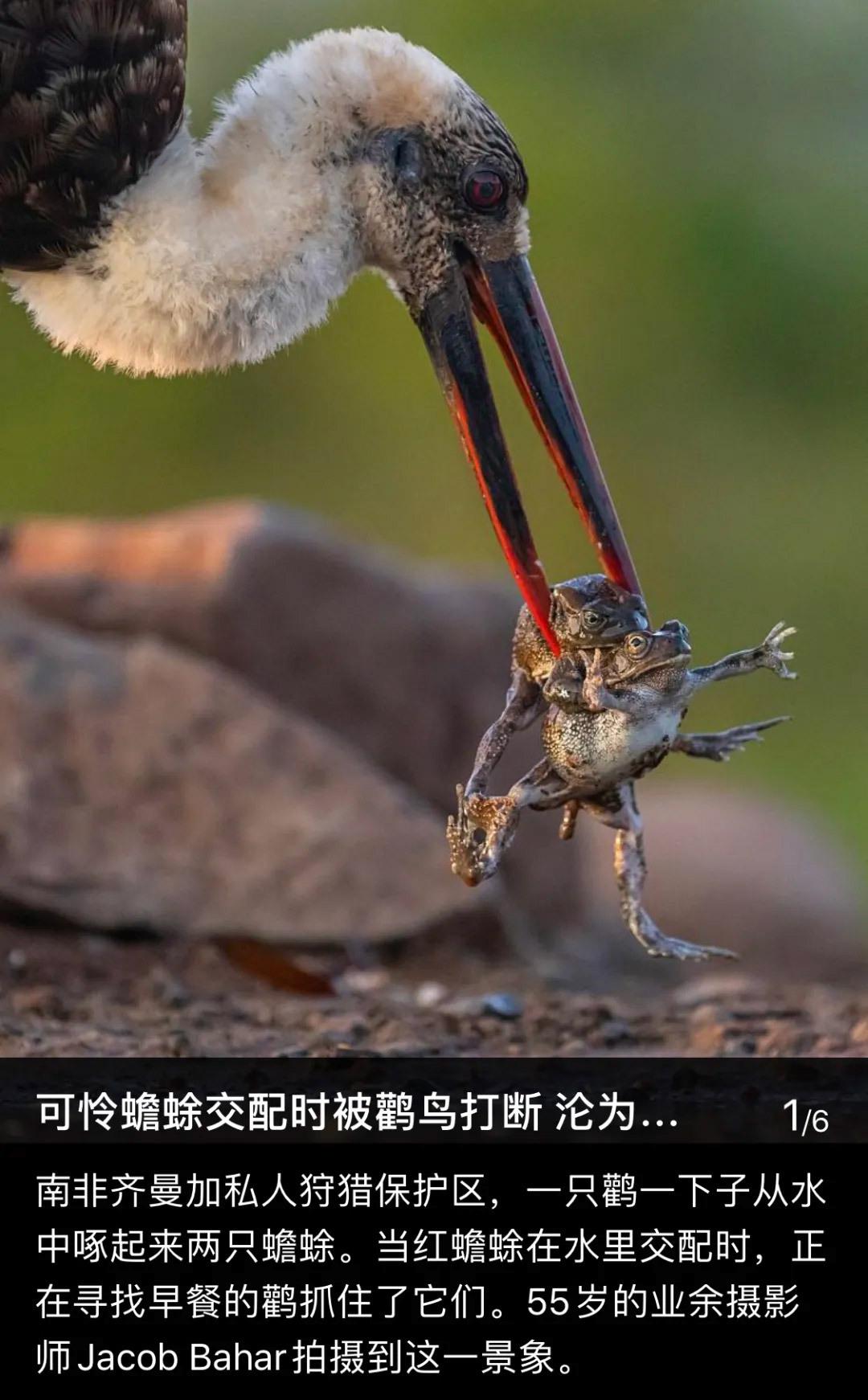 可怜蟾蜍交配时被鹳鸟打断沦为猎物