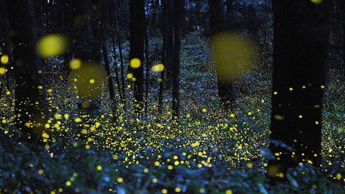 云南发现3个萤火虫新种