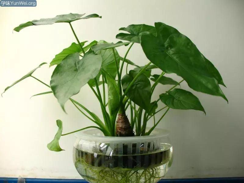 三岁小孩吃了盆栽叶子后口吐白沫,你家里可能也有!