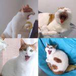 看这只猫咪打哈欠,你肯定也想打哈欠吧!