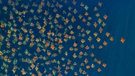 大群的芒基蝠鲼跃出水面