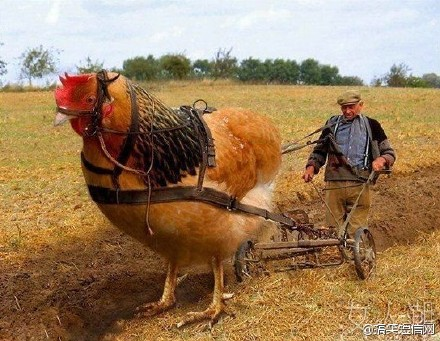 这才是正宗的拖拉鸡!!!!~