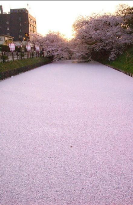 11区,樱花花瓣铺满整条河道