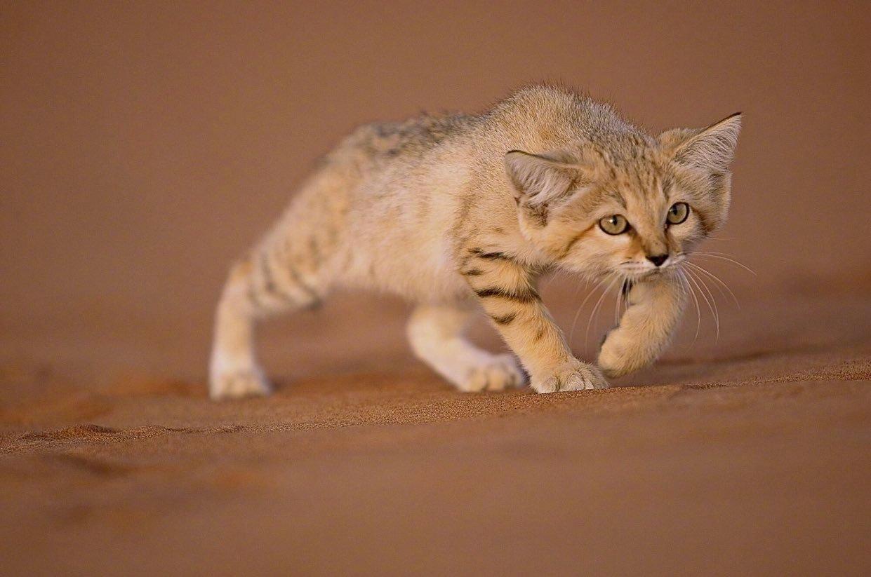 一只成功捕杀野生蛇的沙漠猫,还是好可爱啊!
