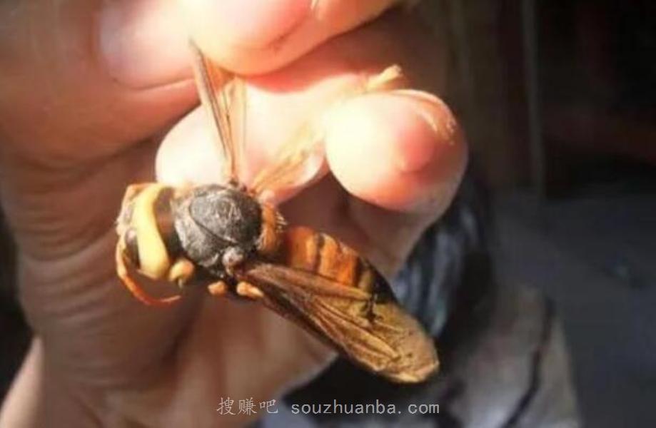 养蜂如何能赚钱?60天赚600万,大虎头蜂让农村大叔致富