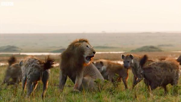 当一头狮子遭遇20只鬣狗围攻 结局令人意外的照片