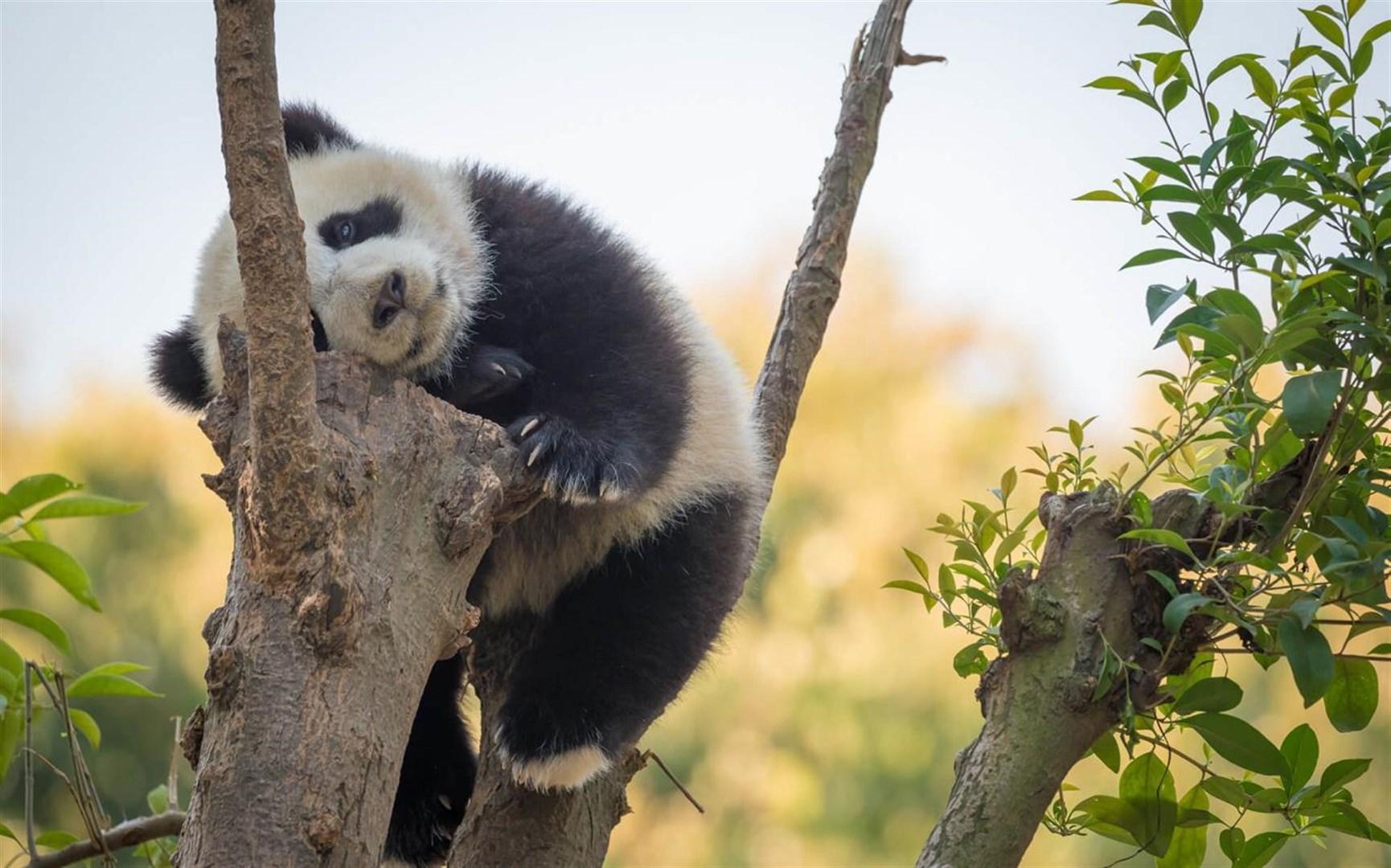 """Win10""""大熊猫""""免费主题发布的照片 - 5"""