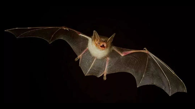 蝙蝠:携带这么多致命病毒 竟是为了在天上飞