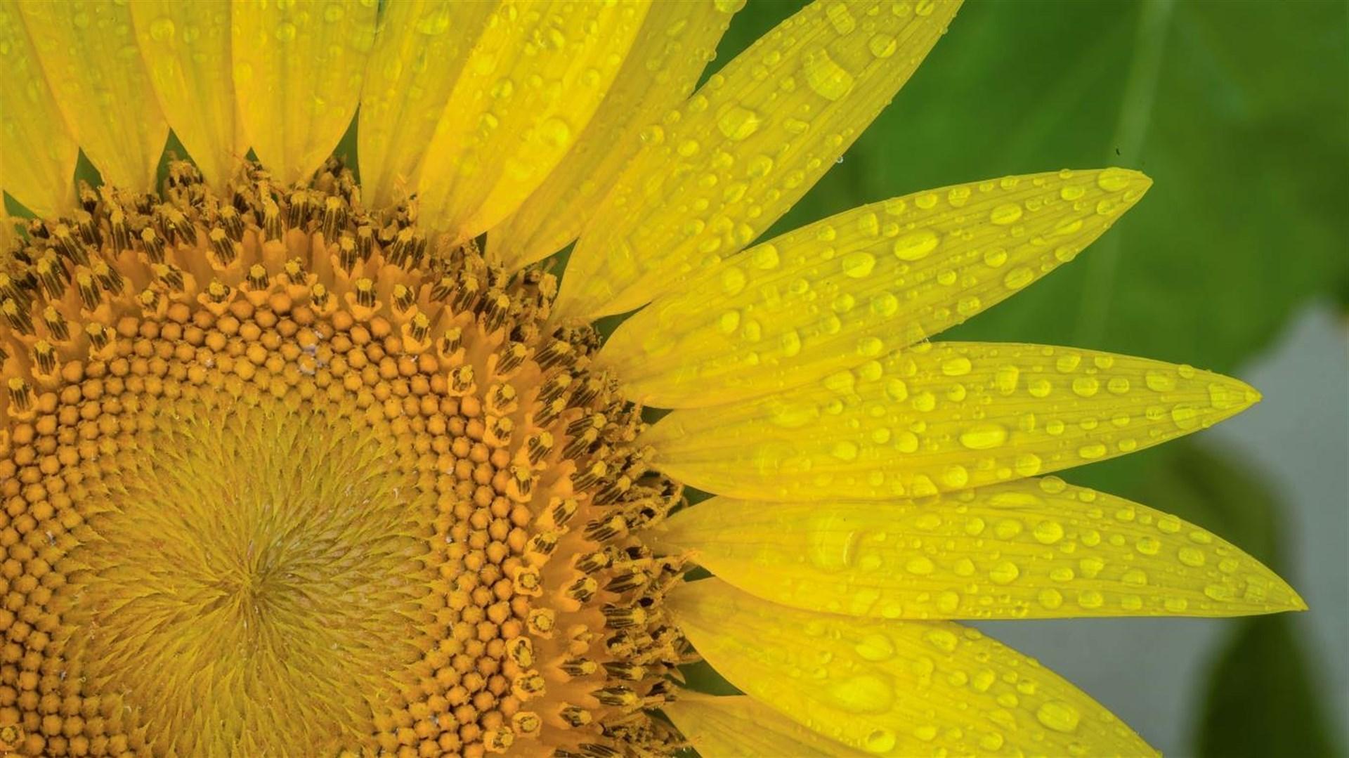 """金灿灿的向日葵:Win10""""Sunflowers""""4k免费主题发布的照片 - 2"""