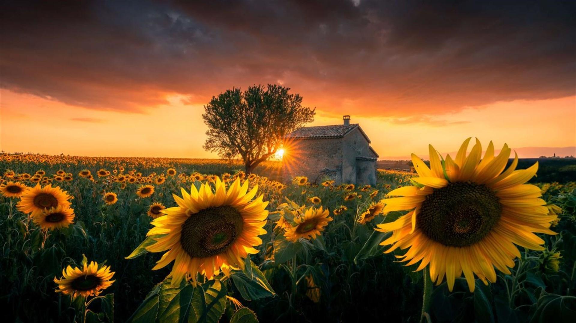 """金灿灿的向日葵:Win10""""Sunflowers""""4k免费主题发布的照片 - 3"""