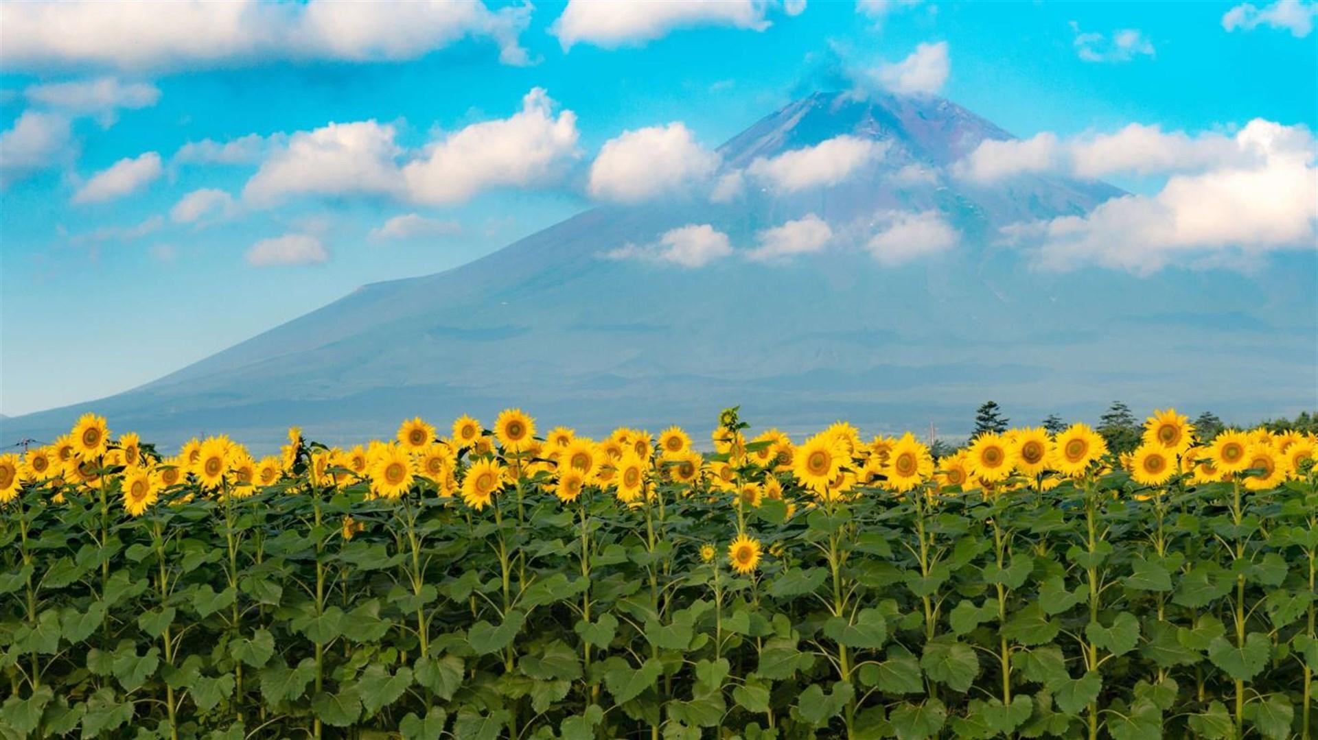 """金灿灿的向日葵:Win10""""Sunflowers""""4k免费主题发布的照片 - 4"""