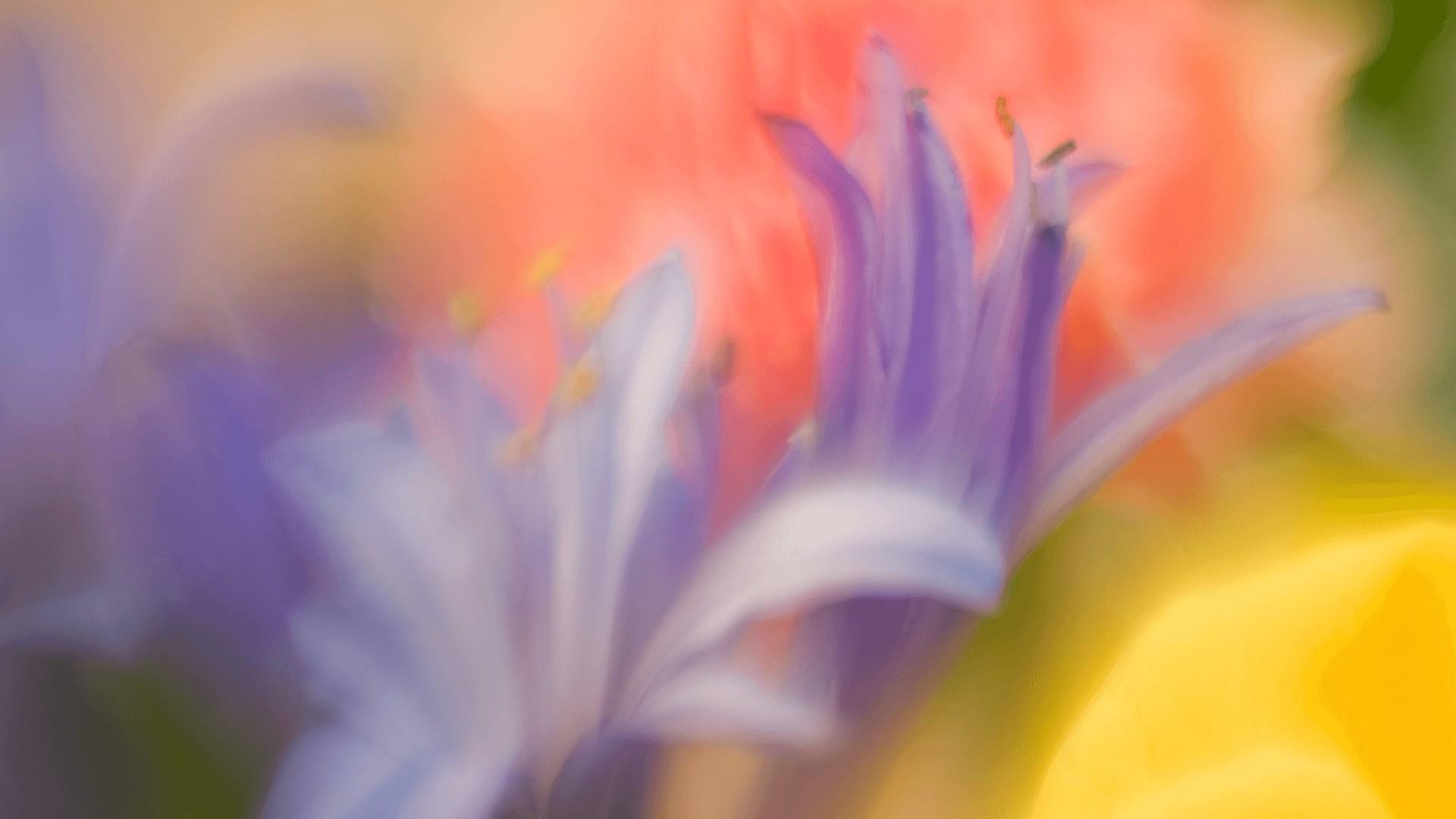 "百花竞放:Win10""Flower Petals""4k免费主题发布"
