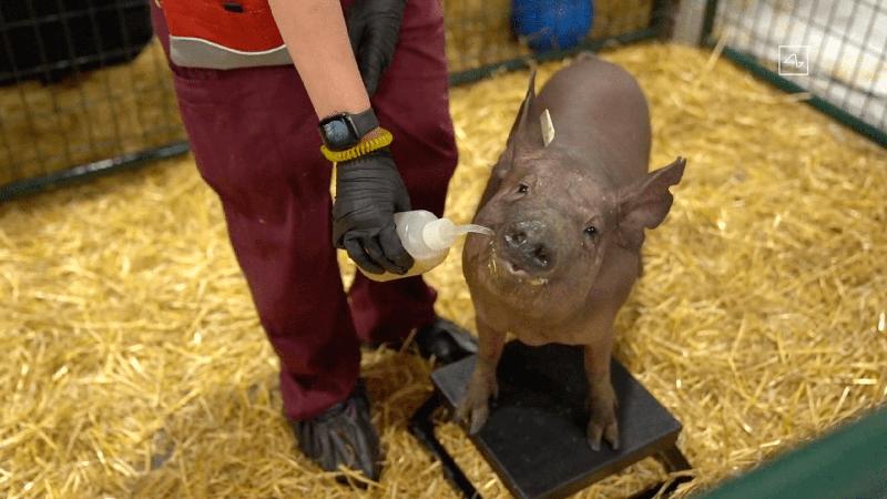 马斯克宣布脑机接口重大进展 请来三只小猪现场展示