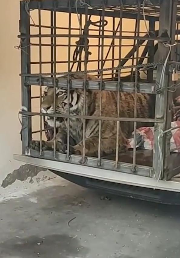 进村东北虎麻醉针醒了 网友:果然跟动物园里的不一样的照片 - 5