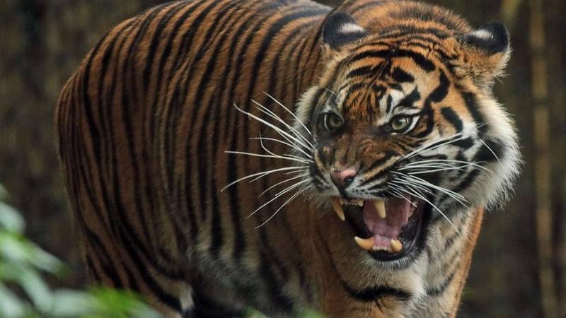 进村东北虎麻醉针醒了 网友:果然跟动物园里的不一样的照片 - 1