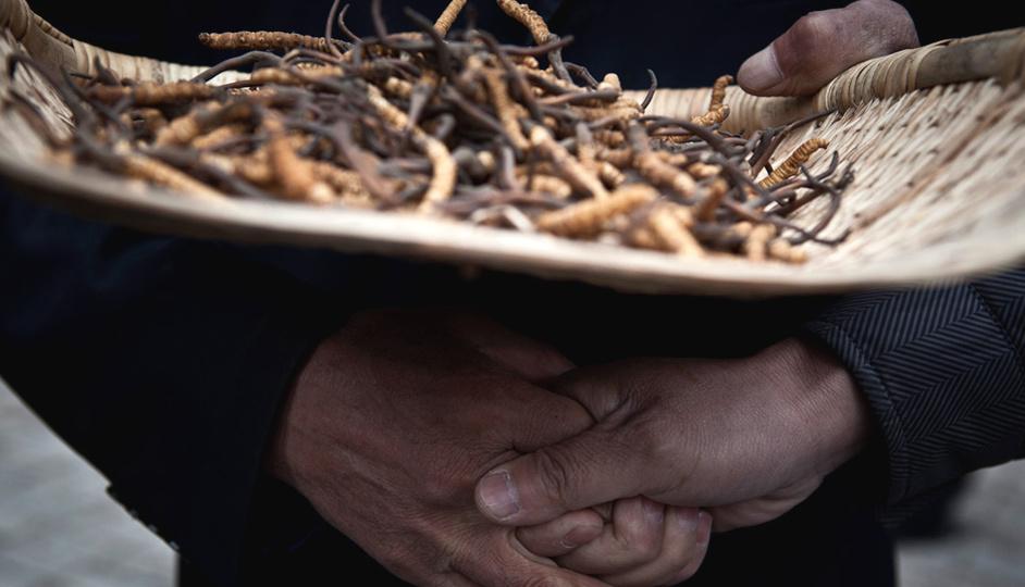 活命的虫草:30年,虫草的价格涨了10000倍https://www.hiquer.com