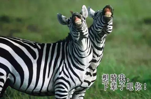 斑马为什么不能被人类驯服? 因为斑马是非洲草原扛把子! 涨姿势 第3张
