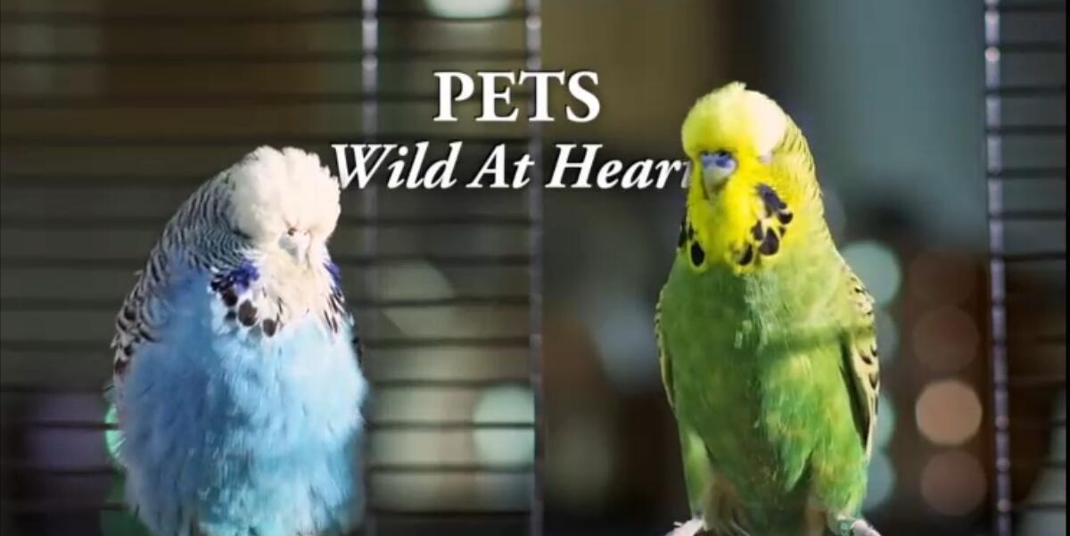 動物世界親子紀錄片:bbc-寵物的天性 Pets – Wild at Heart (2015) 全2集 外掛中英字幕圖片 No.2
