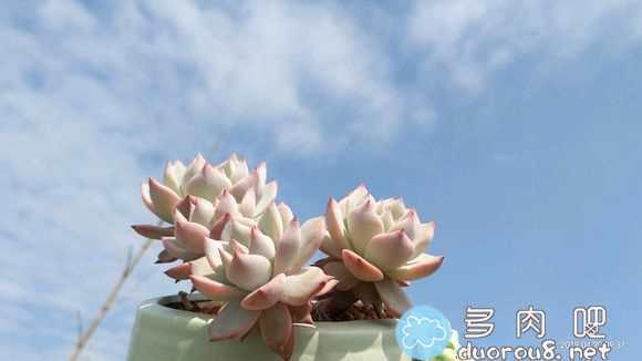 阳光是最好的特效!蓝天白云映衬下的多肉们图片 No.51