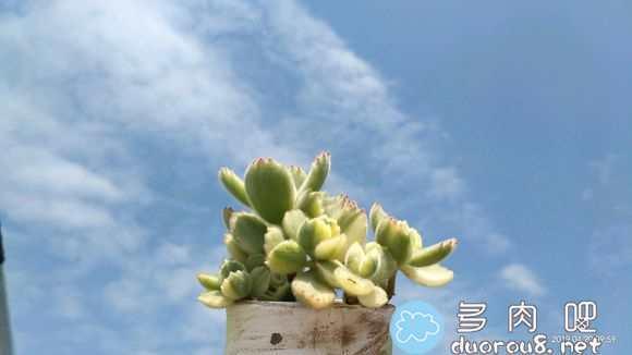 阳光是最好的特效!蓝天白云映衬下的多肉们图片 No.62