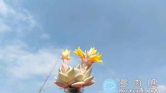 阳光是最好的特效!蓝天白云映衬下的多肉们图片 No.99