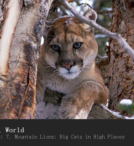 [英语英字]bbc动物世界纪录片-山狮:高地的大猫 Mountain Lions: Big Cats in High Places (2015) 全1集图片