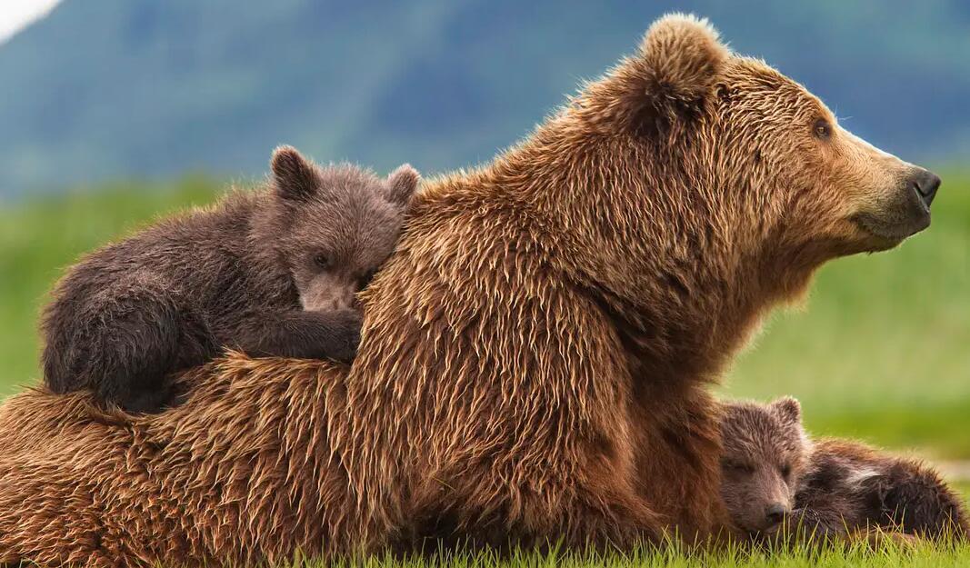 【英语中英字幕】动物世界纪录片:阿拉斯加棕熊 Bears(又名:熊世界 )(2014)全1集 超清1080P图片 No.2