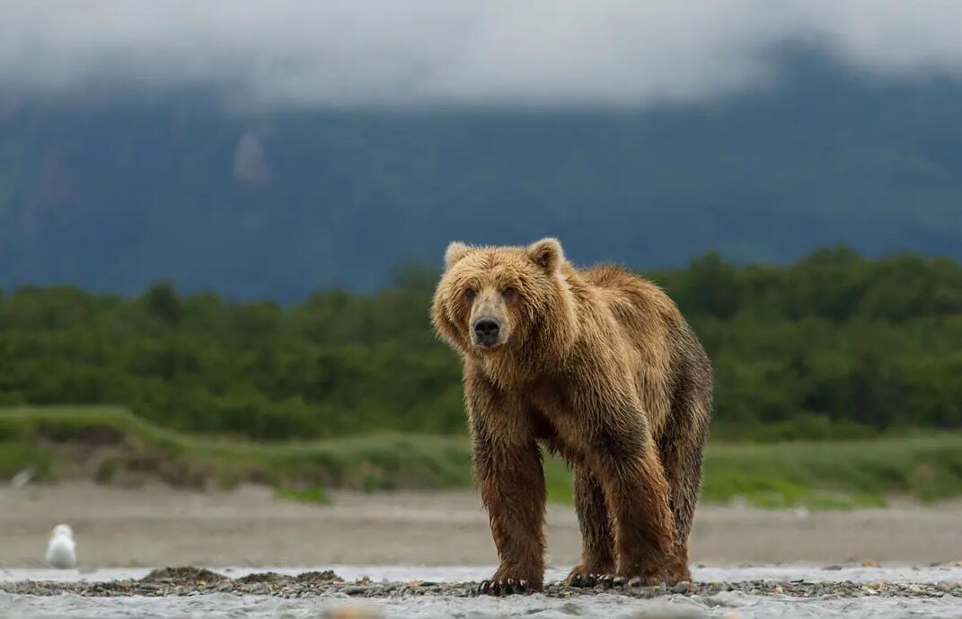 【英语中英字幕】动物世界纪录片:阿拉斯加棕熊 Bears(又名:熊世界 )(2014)全1集 超清1080P图片 No.3