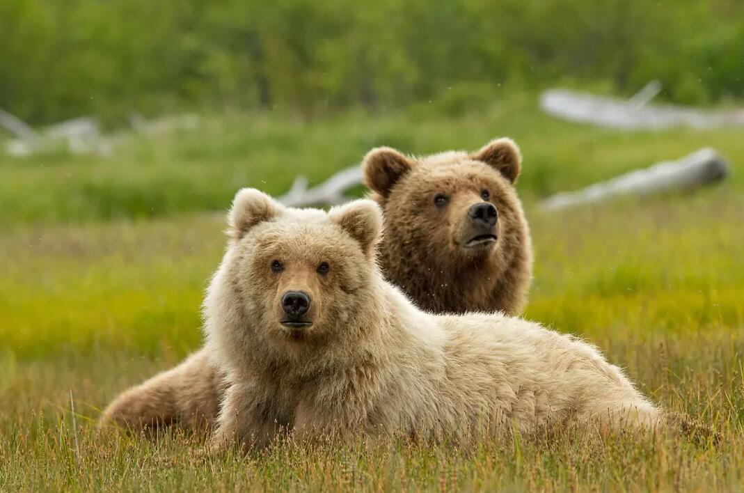 【英语中英字幕】动物世界纪录片:阿拉斯加棕熊 Bears(又名:熊世界 )(2014)全1集 超清1080P图片 No.4