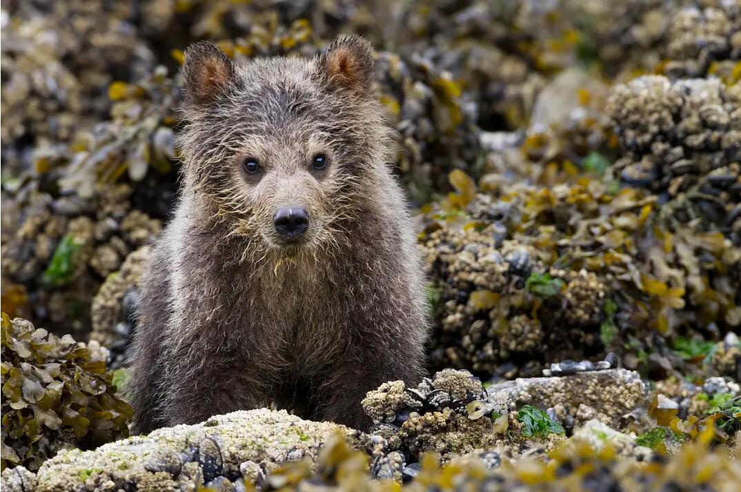 【英语中英字幕】动物世界纪录片:阿拉斯加棕熊 Bears(又名:熊世界 )(2014)全1集 超清1080P图片 No.5