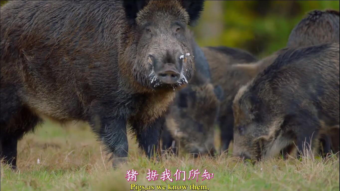 【英语中英字幕】动物世界纪录片:聪明的猪 Amazing Pigs (2018) 全1集 高清1080P图片 No.2