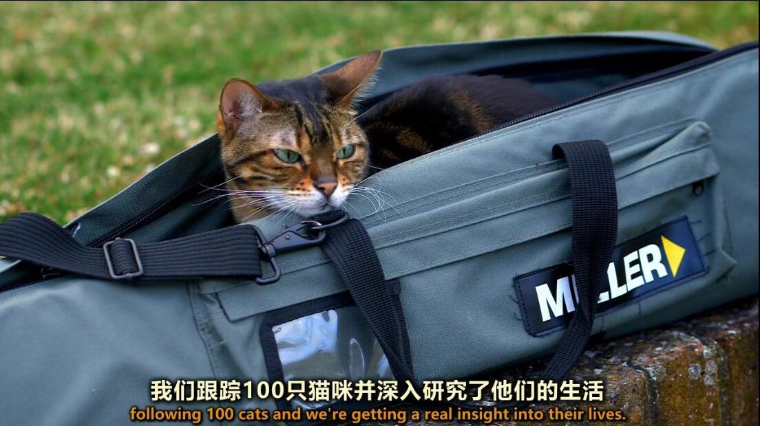 【英语中英字幕】猫奴必看,动物世界纪录片:《喵言猫语》 全1集 高清720P图片 No.3
