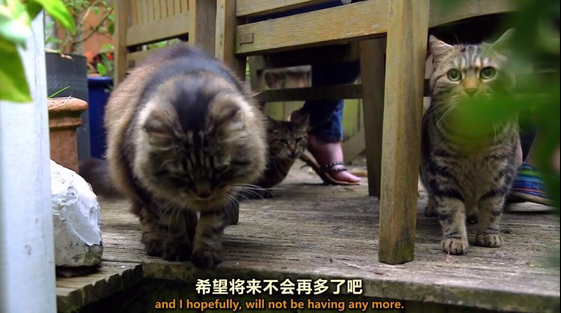 【英语中英字幕】猫奴必看,动物世界纪录片:《喵言猫语》 全1集 高清720P图片 No.4