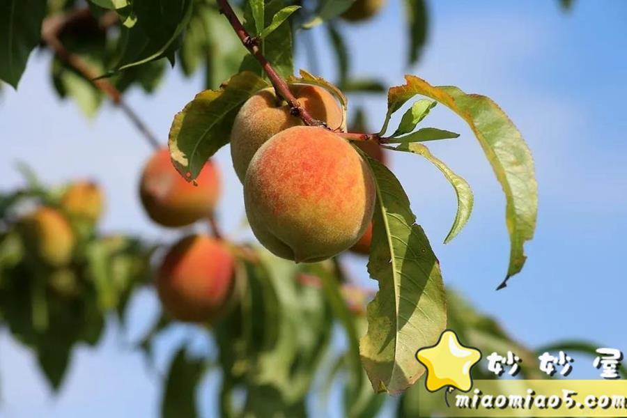 小学生作文素材:描写桃子的好句好段汇总,赶紧收藏牢记吧!图片