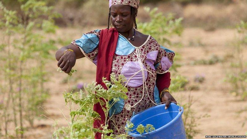 奇迹之树「辣木」帮助尼日尔度过粮食危机