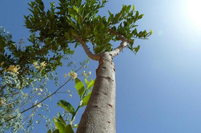 Jillian Levy:辣木有益于荷尔蒙平衡,消化,情绪等 辣木树