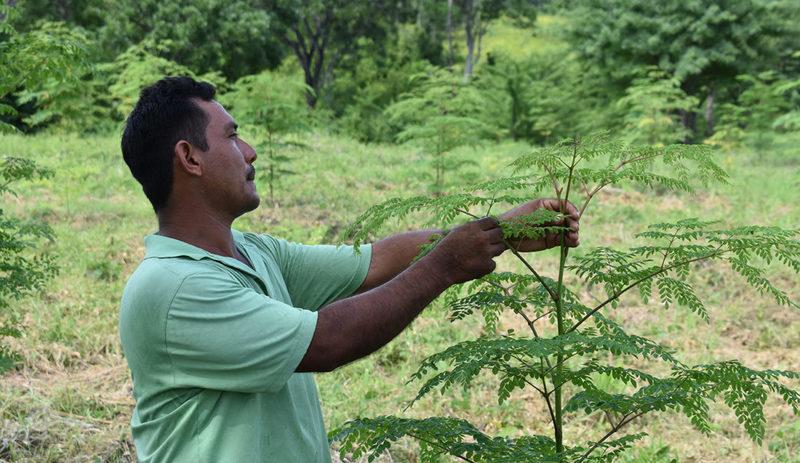 KULI KULI 与「尼加拉瓜」的辣木种植园供应商 辣木种植