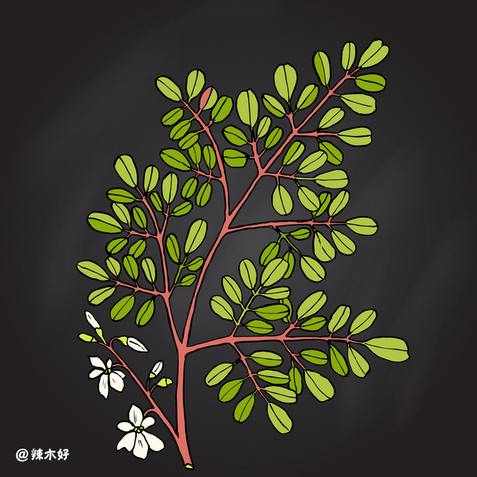 辣木花的功效与作用,婴儿也能吃! 辣木花