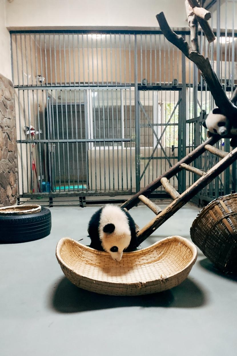 动物园的可爱熊猫,小熊猫图片