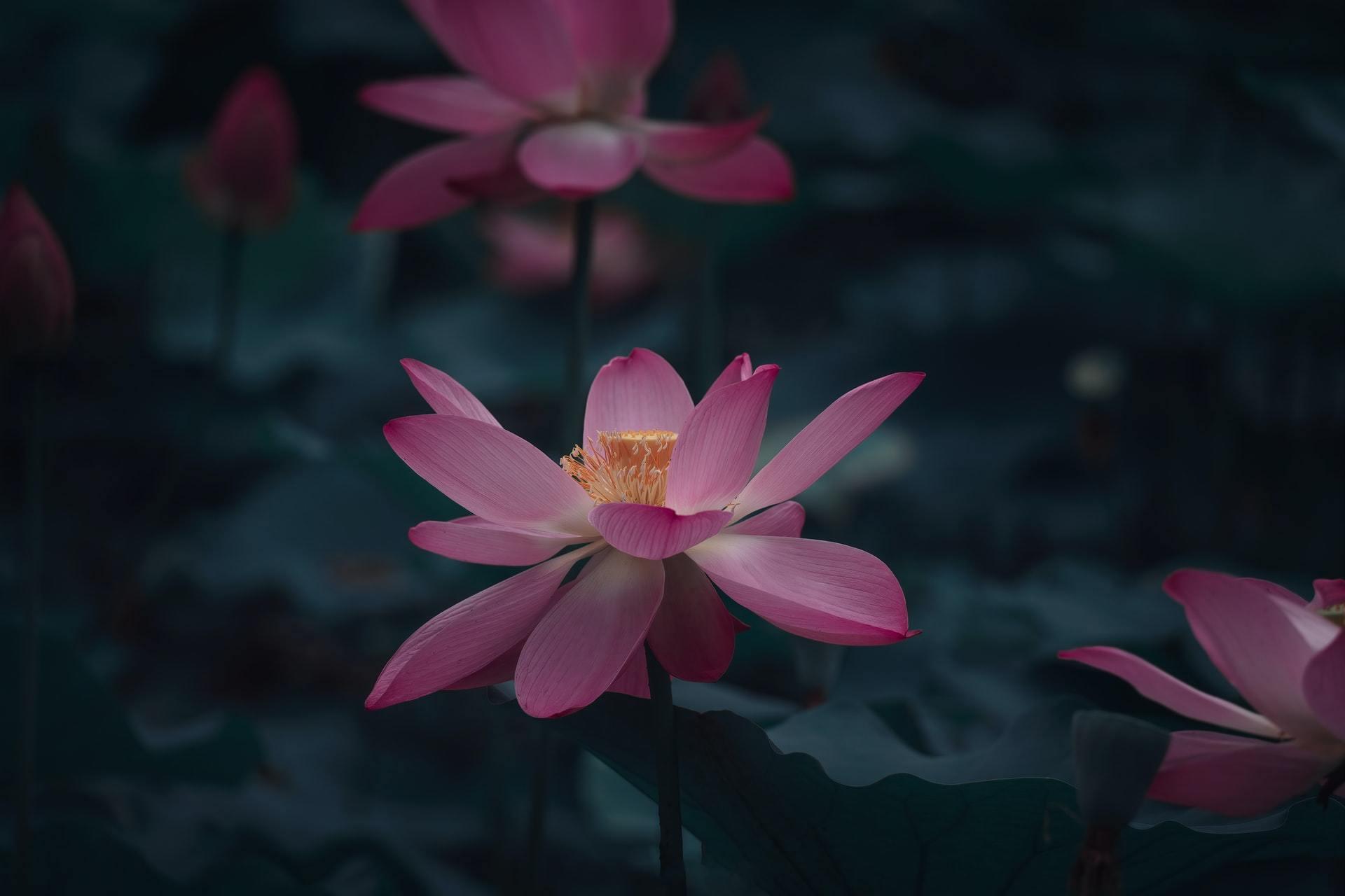 花开正艳的湖中睡莲