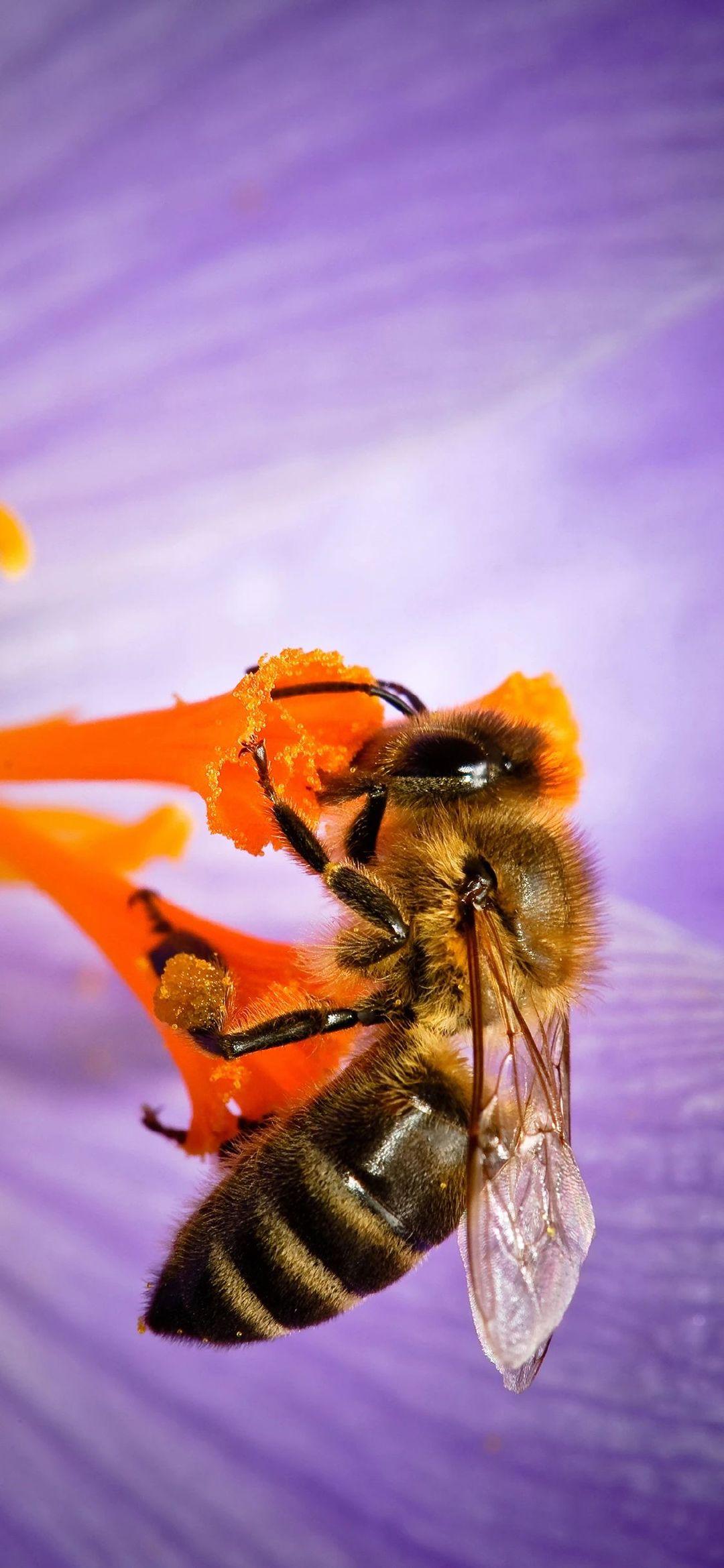 手机壁纸:蜜蜂、瓢虫、花插图7