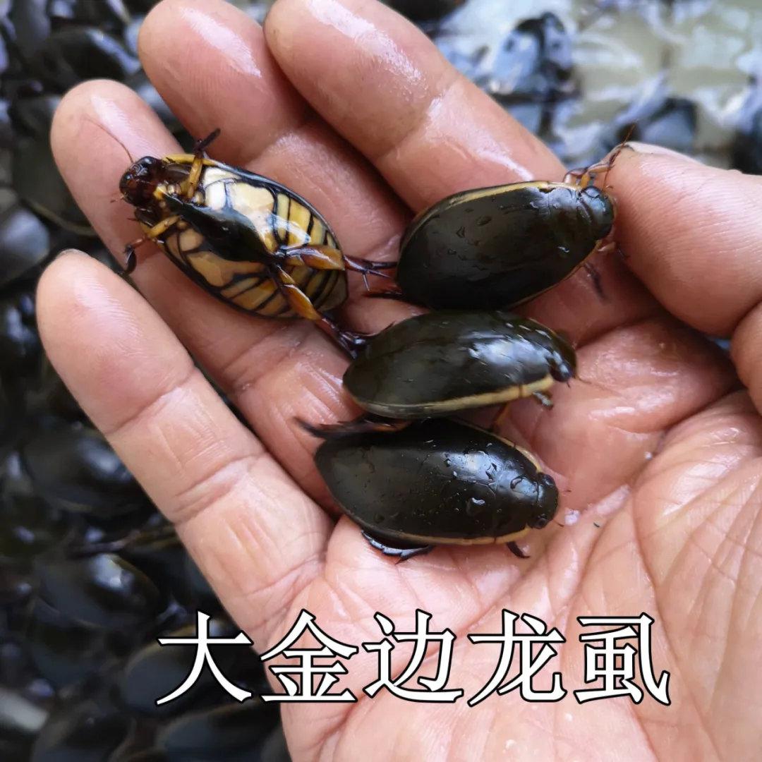"""龙虱在中国的南部地区是一种常见食材,不仅味道美,且营养十分丰富,同时还具有较高的食疗作用,被誉为""""水中人参""""。"""