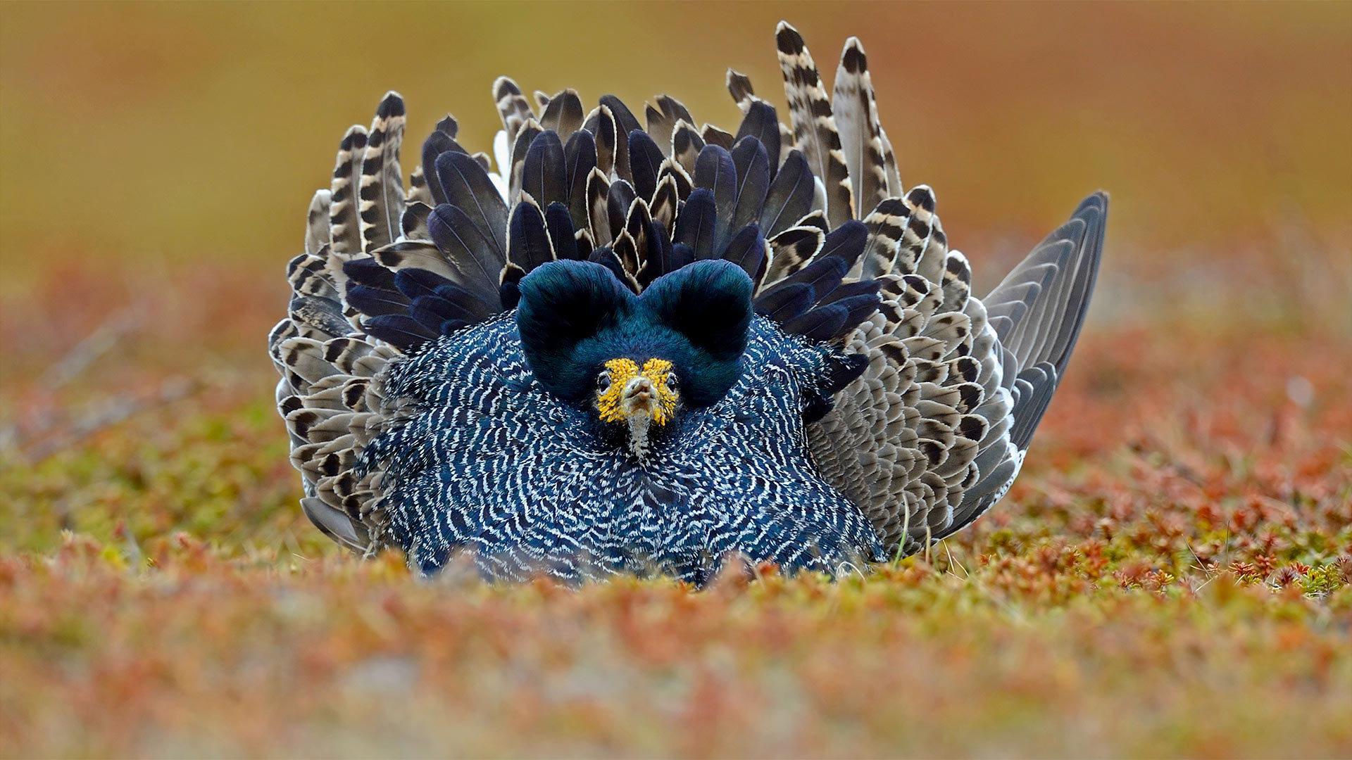 挪威瓦朗厄尔半岛上一只展示翎颌的雄性涉禽