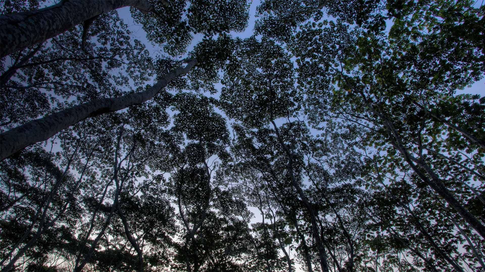 秘鲁亚马逊坦博帕塔国家保护区中的树冠