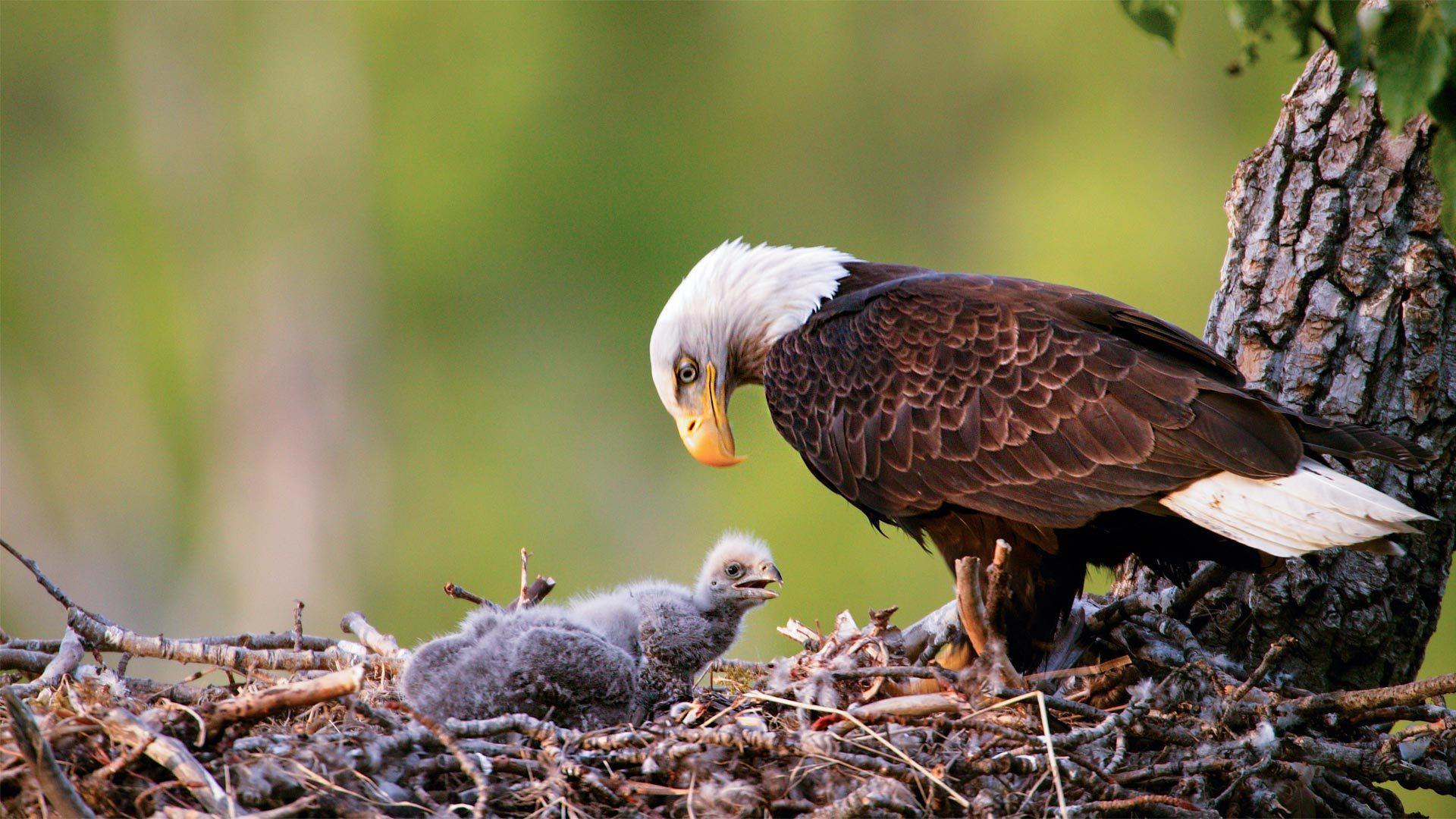 安克雷奇的秃鹰